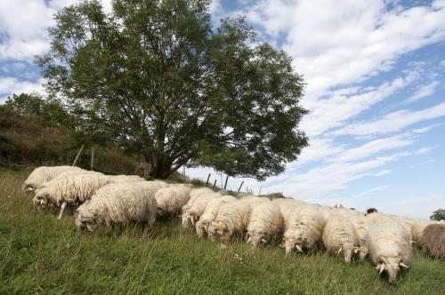 Pastoralisme dans les Pyrénées Béarnaise