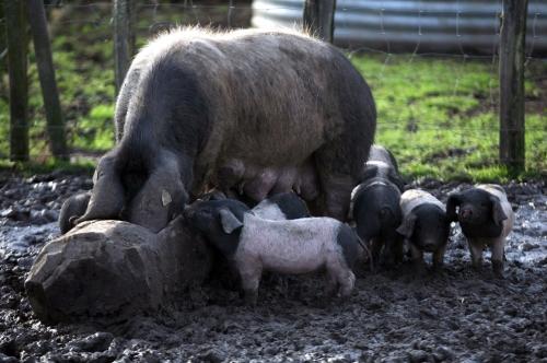 Porc noir du Pays Basque